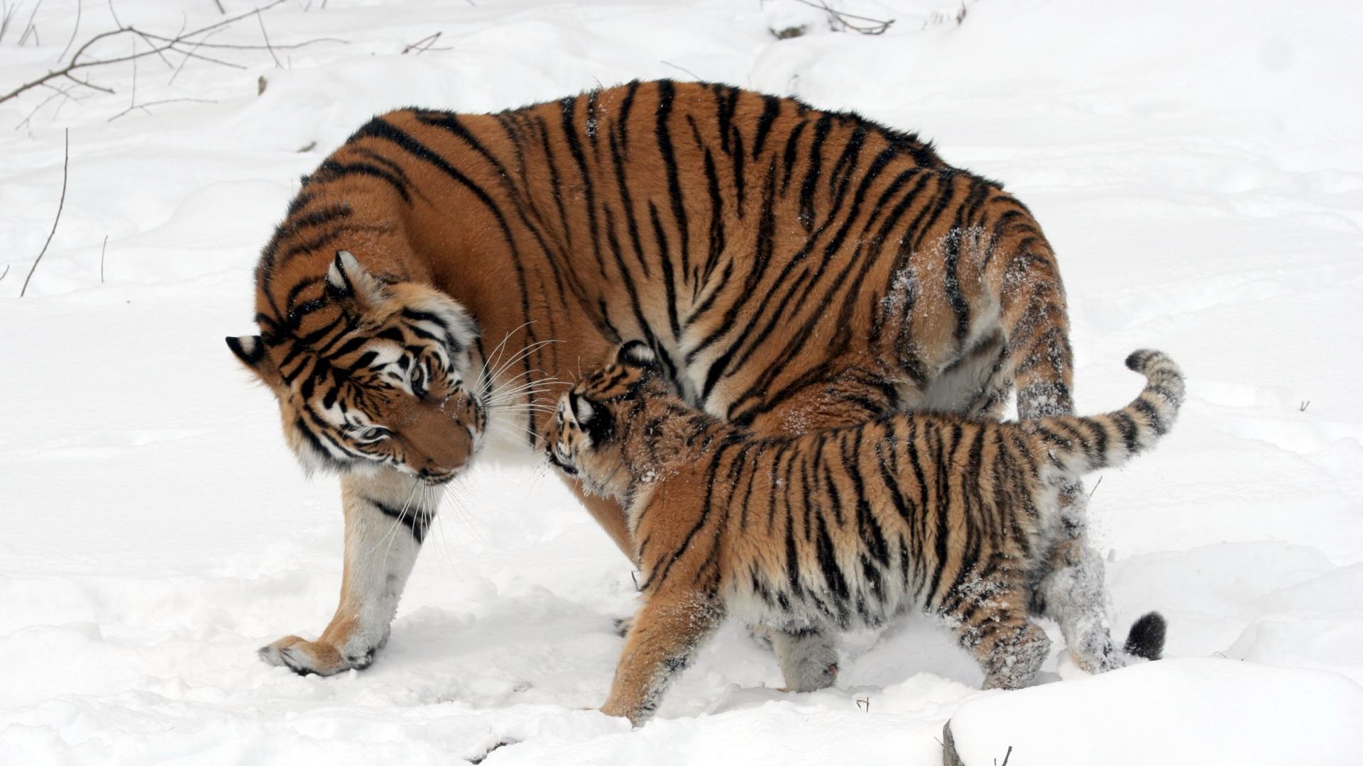 panthera-tigris-altaica-buffalo-zoo